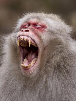 Hvem skændes vred abe mon med?